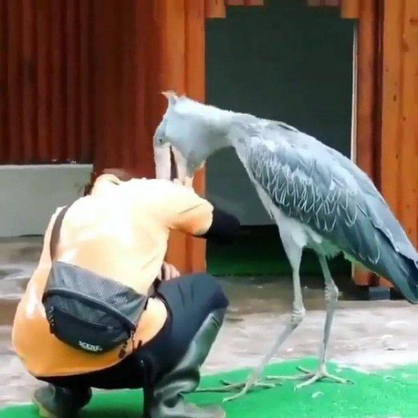 Cegonha-bico-de-sapato atacando uma mulher, dá um pouco de medo!