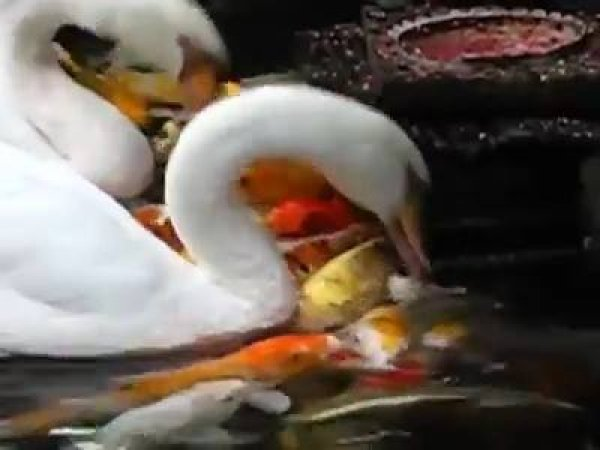 Cisnes alimentando as carpas do lago, olha só que fantásticos estes animais!!!