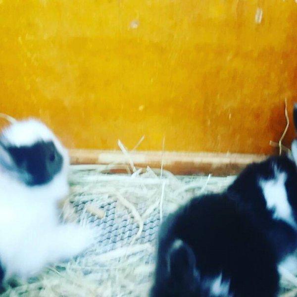 Coelhinhos anões da raça teddy dwerg, veja que fofura de animais!!!