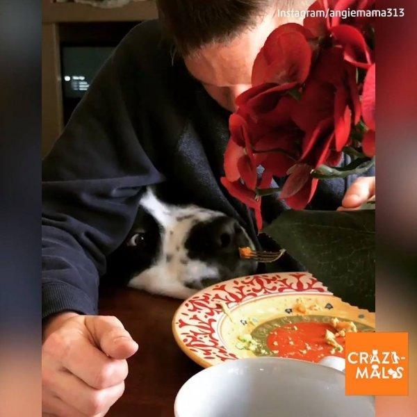 Como é almoçar quando se tem cachorro em casa? Veja a carinha de pidão!