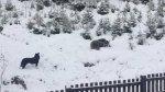 Dai você escuta seu cachorro latindo e da de cara com um urso!!!