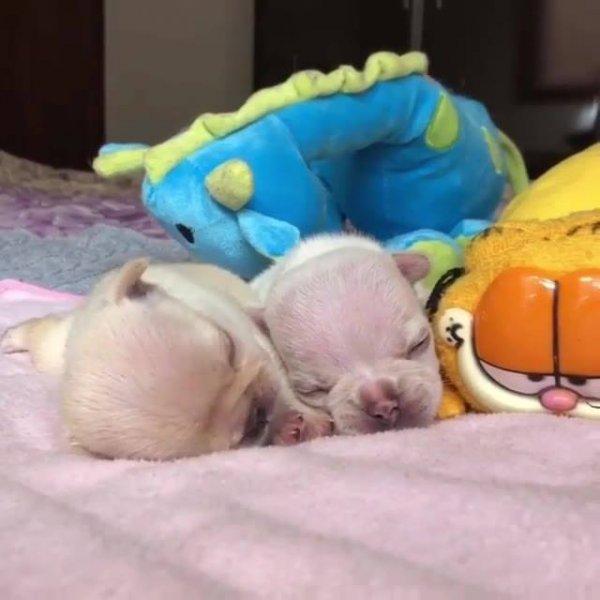 Dois filhotinhos de cachorros deitadinhos dormindo, olha só que coisinha fofa!!!