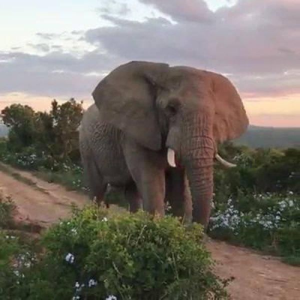 Elefante passando bem perto dos turistas, que emoção para eles, hein!