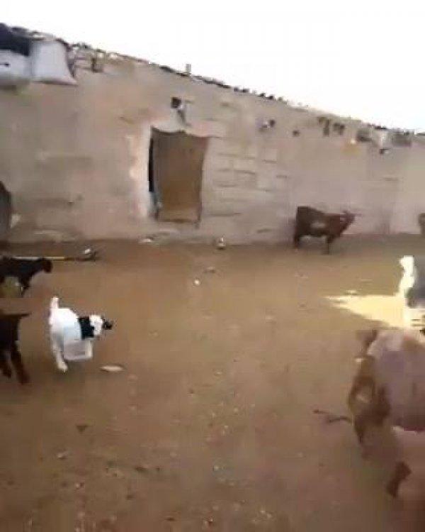 Escute a choradeira dessas cabras e bodes, querem falar todos na mesma hora!