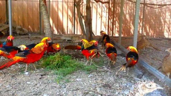 Faisões dourados, uma das aves mais lindas e coloridas do mundo!