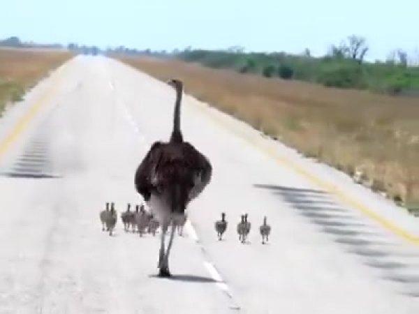 Família de avestruz passeando no meio da rodovia, que linda!