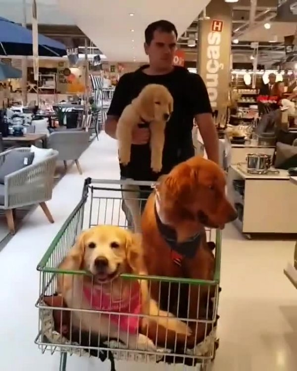 Família de golden retriever passeando com o dono no super mercado!!!