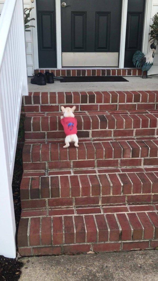 Filhote de buldogue francês subindo escada, veja como ele é espertinho!!!