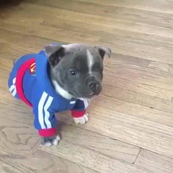 Filhote de cachorro com conjunto de agasalho, esse não vai passar frio!