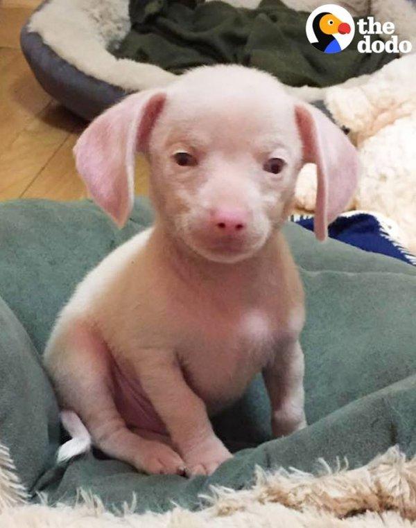 Filhote de cachorro nasceu cego e surdo, mas é feliz com a ajuda da família!