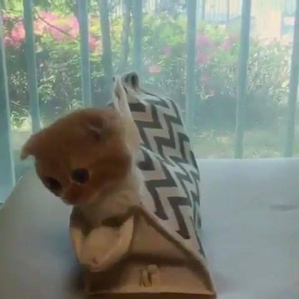 Filhote de gatinho escondido dentro de bolça de sua mamãe!!!