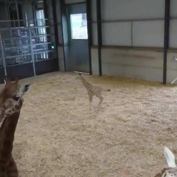 Filhote de girafa correndo para todos os lados, olha só que belezinha!!!
