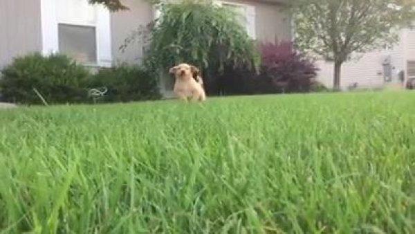 Filhote de golden correndo para o abraso em câmera lenta, olha só que lindo!!!