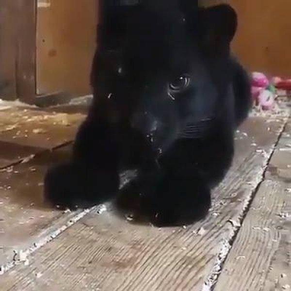 Filhote de pantera negra, olha só que animalzinho mais lindo!!!