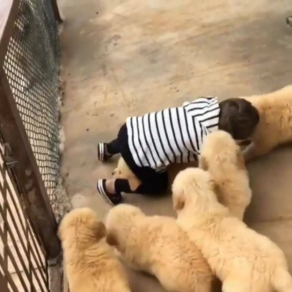 Filhotes de cachorros atacando garotinho com muito amor e carinho!!!