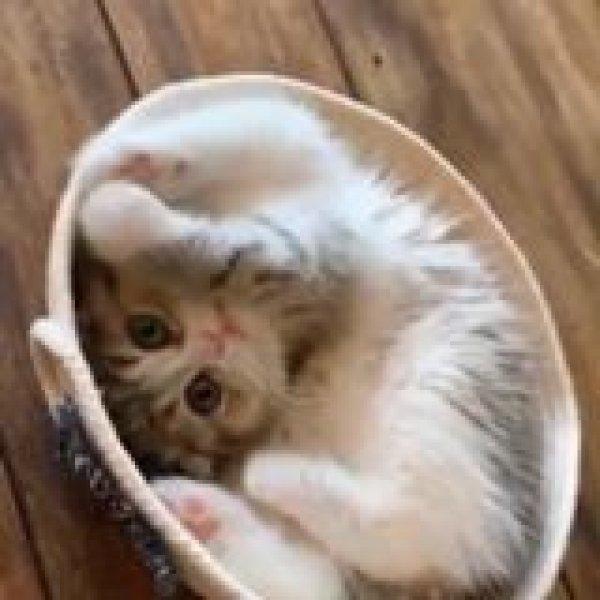 Filhotinho de gato dentro de uma cestinha, olha só que coisinha fofa!!!