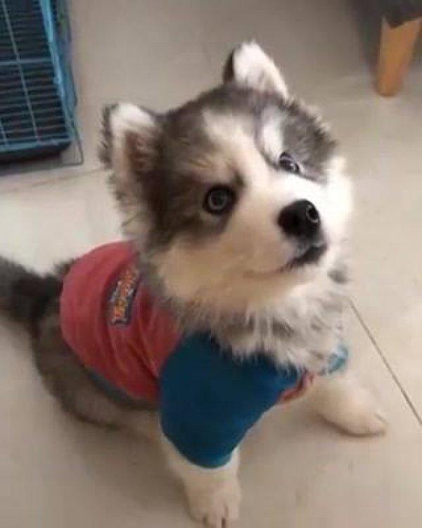 Filhotinho de husky siberiano reclamando pra sua mamãe, que lindo!!!