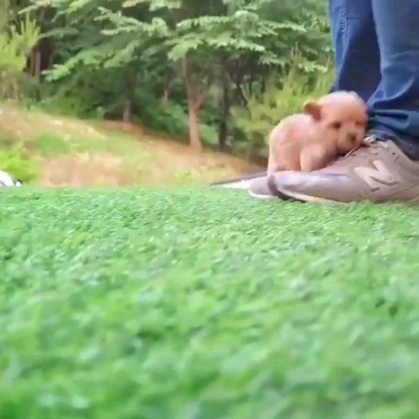 Filhotinho de poodle, que coisinha mais linha impossível não apaixonar!!!