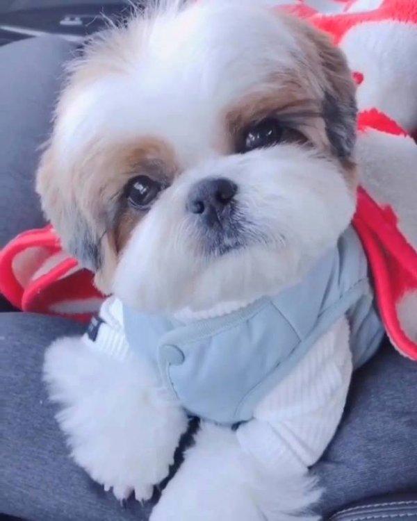 Filhotinho de Shih Tzu, que carinha mais fofinha ele faz charme pra câmera!!!