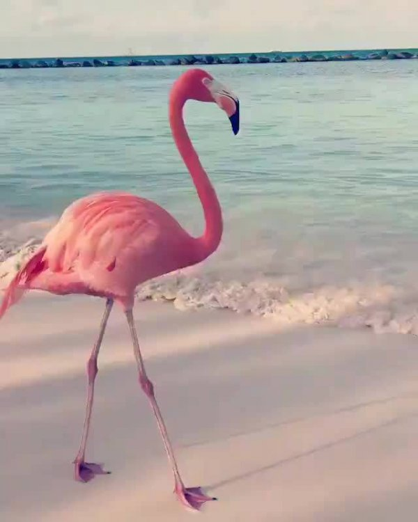 Flamingo movimentando os pés para se alimentar, veja que interessante!!!
