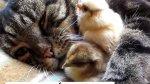 Gata é amiga de pintinhos, muito legal esse exemplo de amizade verdadeira!