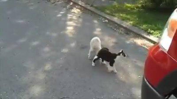 Gatinho ajudando cachorro cego a não trombar nas coisas, sensacional!!!