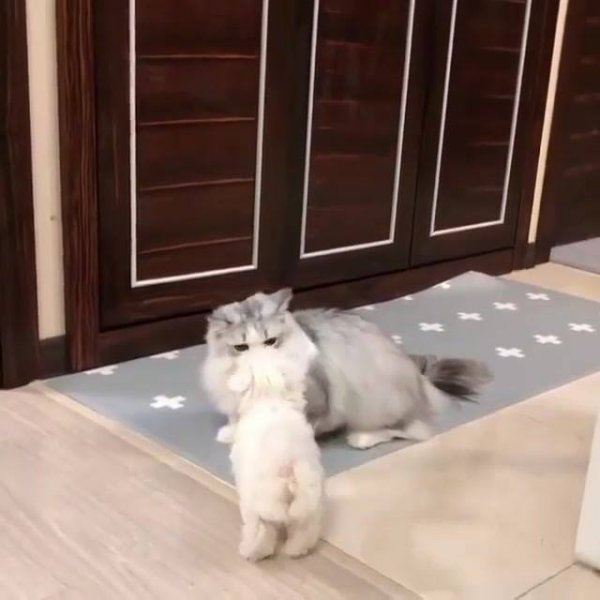 Gatinho brincando com filhote de cachorro, olha só a fofura dele!!!
