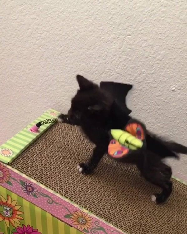 Gatinho fantasiado de morcego, olha só que criaturinha mais fofa!!!