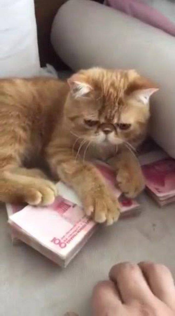 Gatinho não quer que seu dono pegue dinheiro, veja como ele é bravo, hahaha!!!