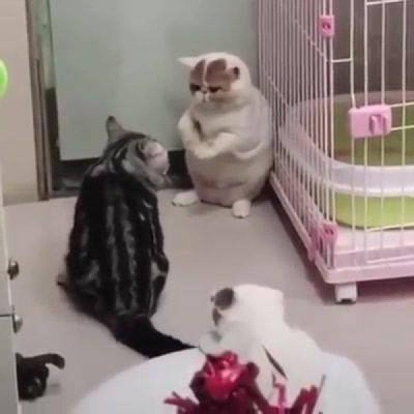 Gatinho querendo pegar o rabo de seu amiguinho, veja que engraçadinho!!!