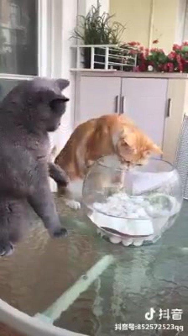 Gatinho tentando pegar peixe do áquario mais seu irmãozinho não deixou!!!