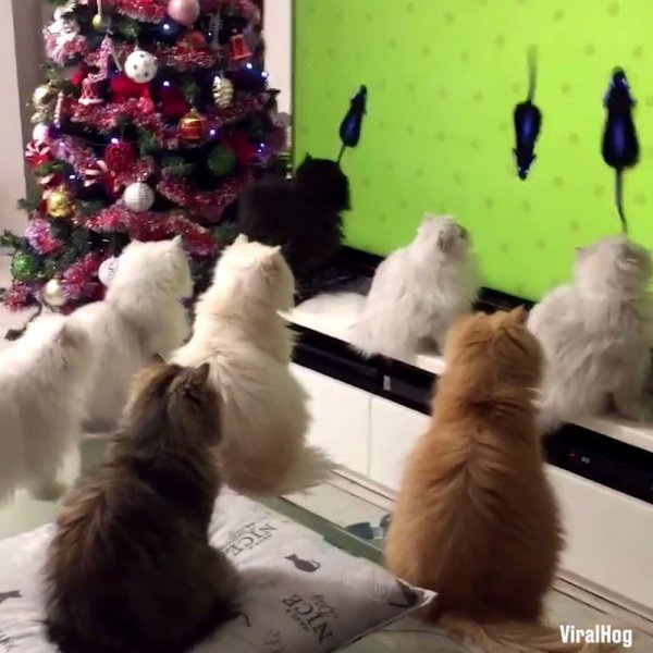 Gatinhos assistindo televisão juntinhos, olha só a carinha dessas fofuras!!!