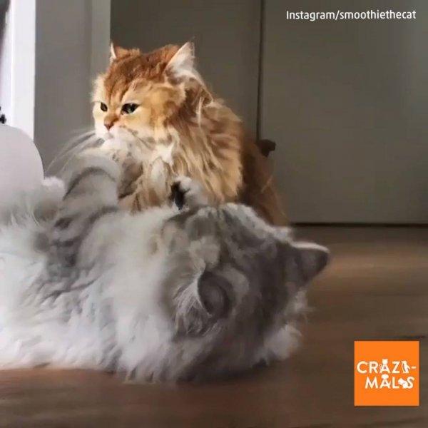 Gatinhos brincando de luta, ao mesmo tempo que trocam bejinhos!