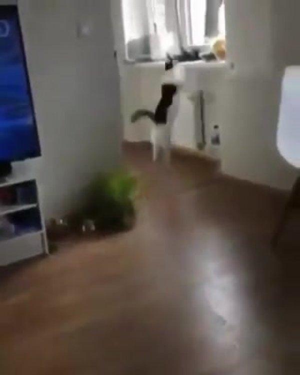 Gato achando que outro gato saiu da televisão, muito engraçado hahaha!