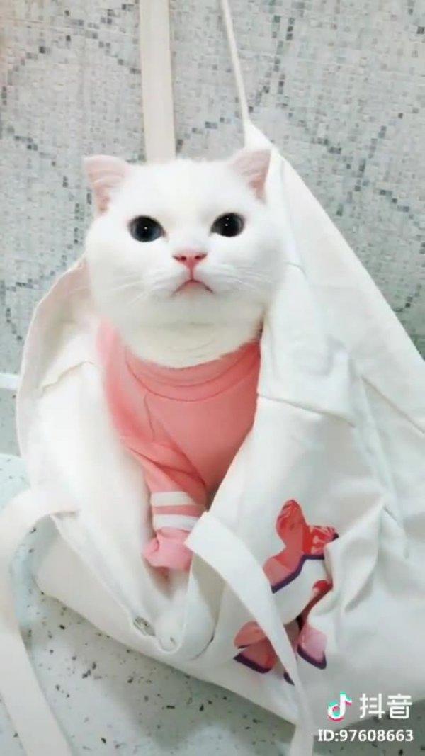 Gato branco lindo dando uma miada meiga, que fofura, confira!