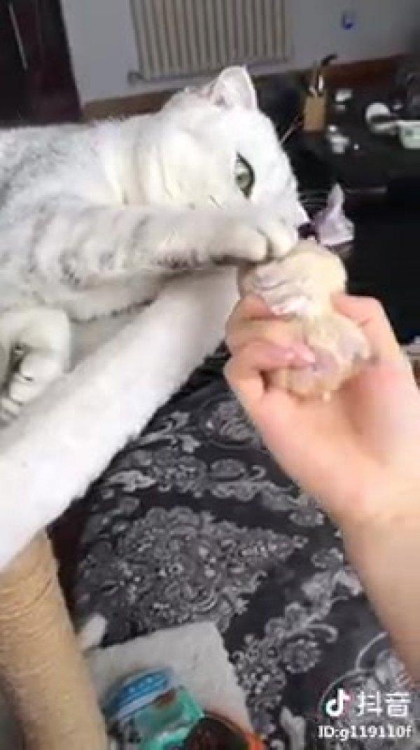Gato ciumento com seu bichinho de pelúcia, ninguém mexe nele!
