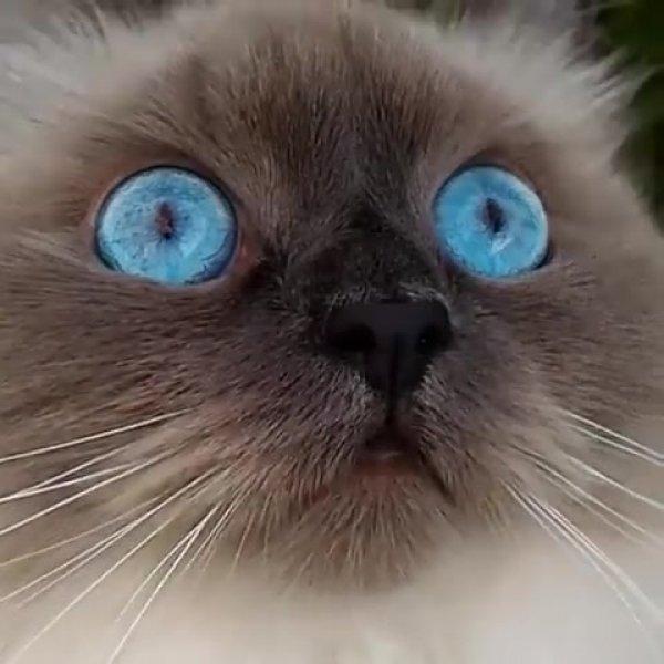 Gato com lindos e arregalados olhos azuis, tem como não se apaixonar?