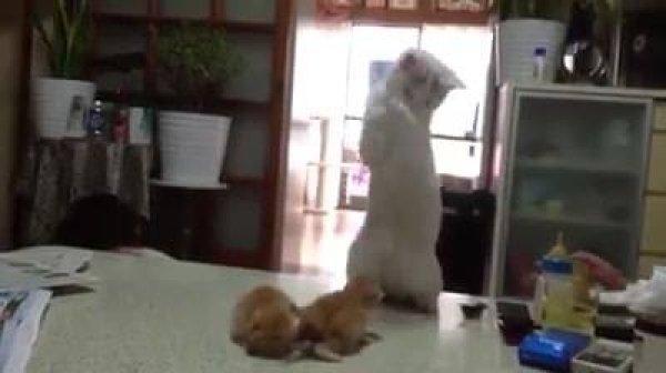 Gato tentando fazer amizade com gatinhos, veja que gracinha!