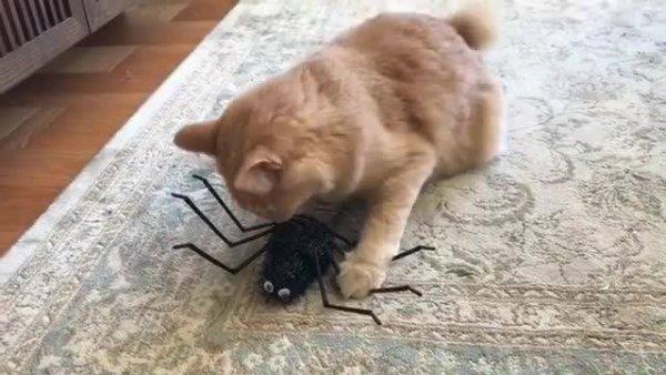 Gato tentando pegar uma aranha de mentira, veja que gracinha ele brincando!
