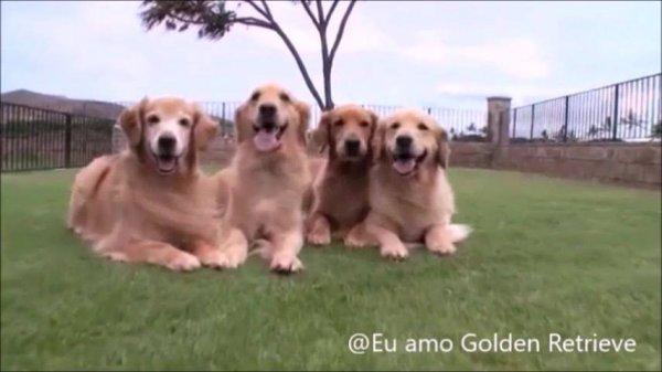 Golden retrieve os cães mais fofo que existem, é impossível não se apaixonar!!!