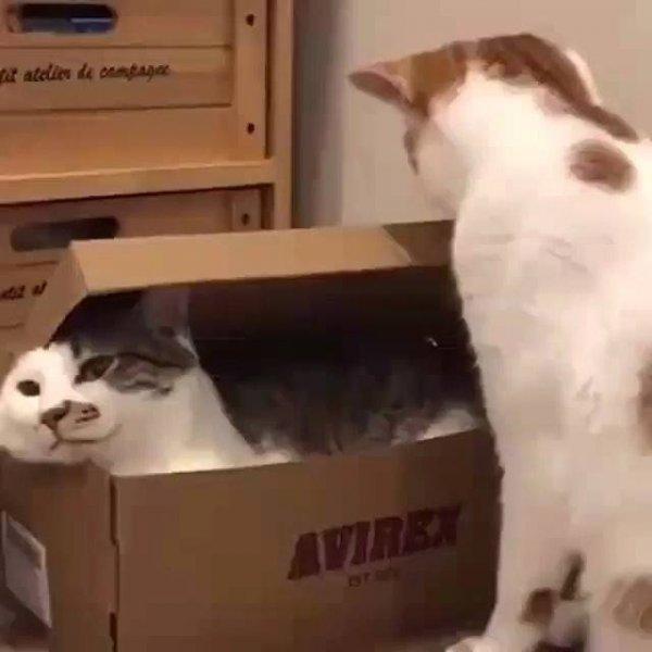 Guardando o irmão na caixa de sapato, que gato arteiro!