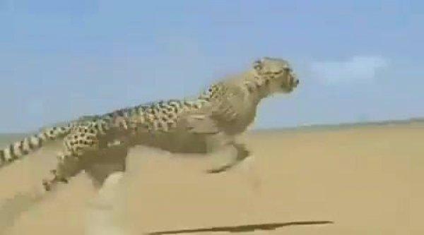 Guepardo correndo, veja que espetáculo a desenvoltura do físico deste animal!!!