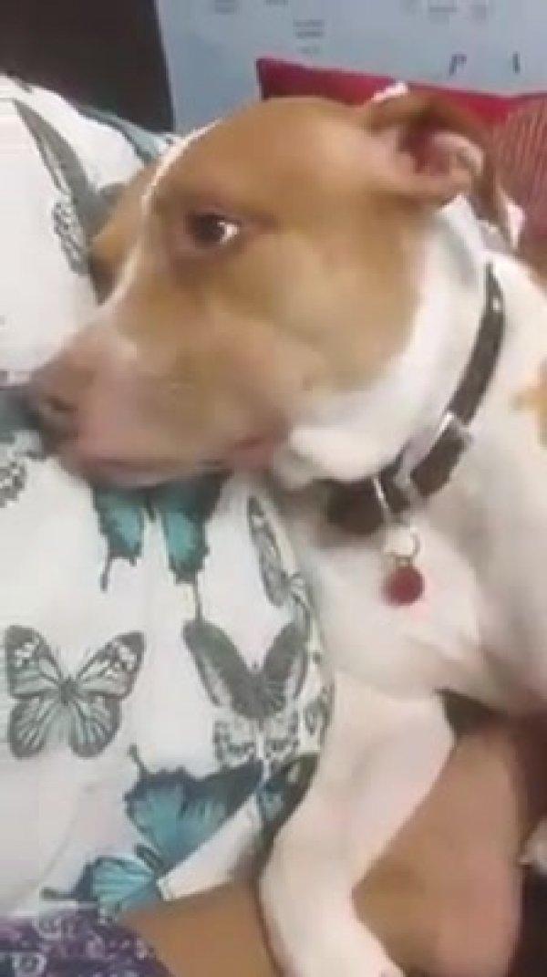 Humana canta para o cachorro, e ele adormece, que lindo!