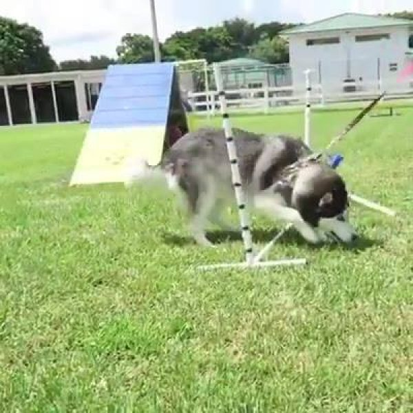 Husky siberiano não quer saber de treino, olha só a preguiça deste amiguinho!