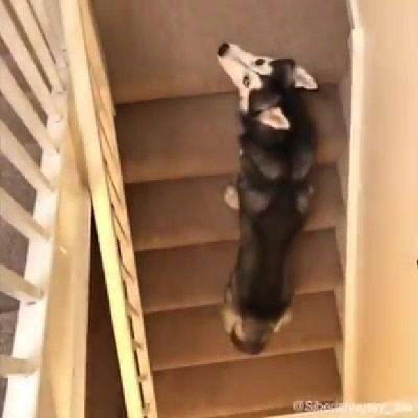 Husky siberiano um dos animais mais engraçados que você pode ter!!!