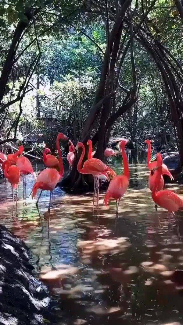 Imagens de flamingos elegantes, um video que mostra a beleza deles!