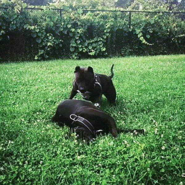 Irmãos de cachorros brincando na grama, que amizade mais linda!