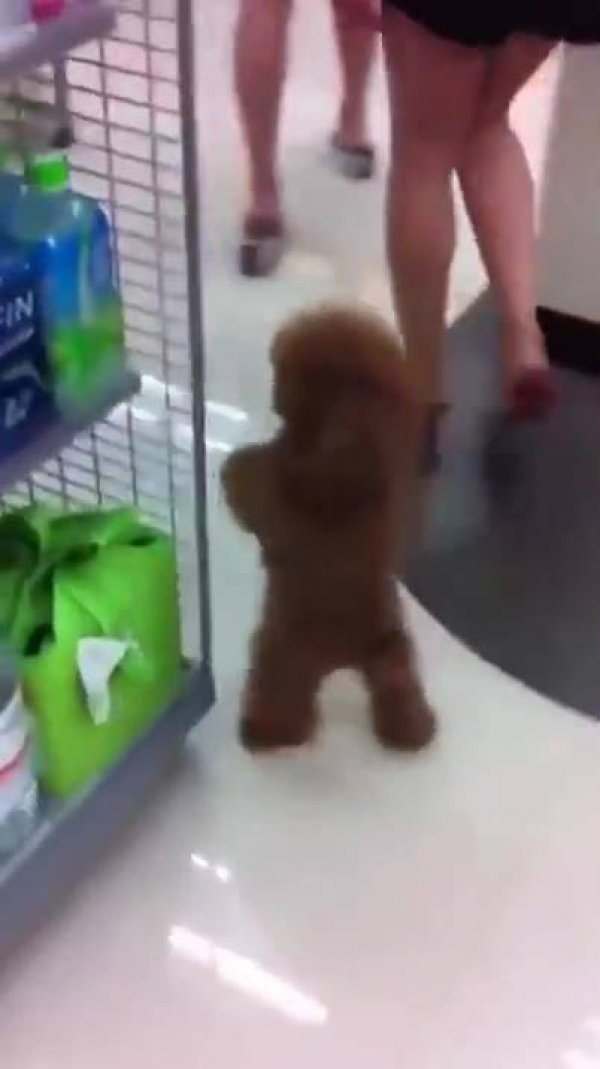 Isso é um cachorrinho ou um Ewok de Stars Wars? Muito fofo!!!