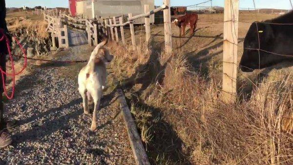 Labrador fazendo amizade com vaquinha, olha só que amiguinho mais fofo!!!