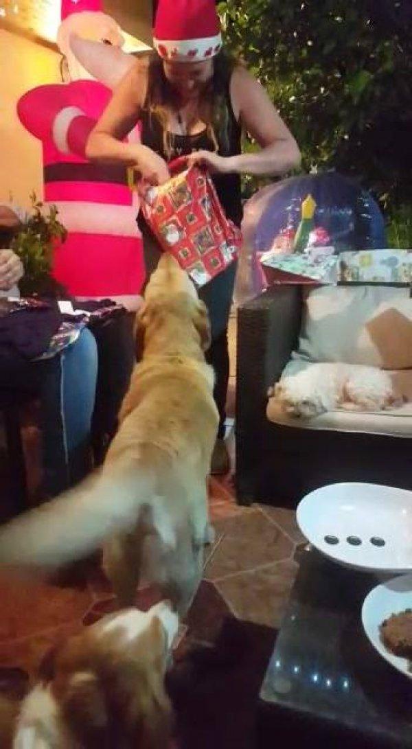 Labrador ganhando presente de natal, olha só que coisinha mais fofa!!!